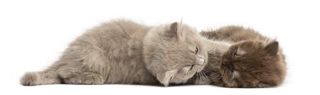 amigos abrazandose: Highland pliegan gatitos acostado, abrazos, aislado en blanco Foto de archivo