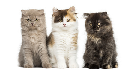 Higland straight and fold kittens sitting in a row, isolated on white photo