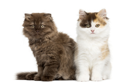 next to each other: Higland straight and fold kittens sitting next to each other, isolated on white