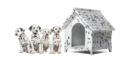 kennel: Pack of Dalmatian puppies sitting in a row next to a kennel, isolated on white