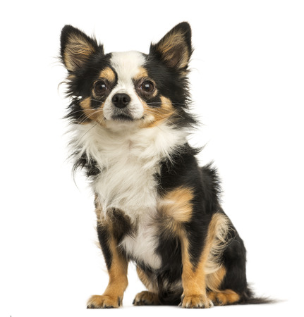 chihuahua: Chihuahua sitting, 4 years old, isolated on white Stock Photo