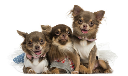 clothed: Group of dressed-up Chihuahuas panting, looking at the camera, isolated on white