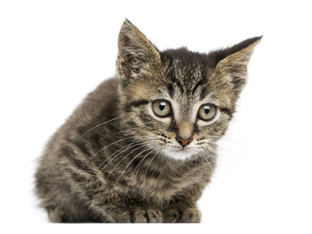 Front view of an European shorthair kitten lying, looking at the camera, 2 months old, isolated on white photo