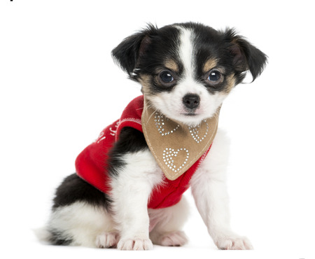 perros vestidos: Vestida en marcha Chihuahua cachorro sentado, mirando a la cámara, 3 meses de edad, aislado en blanco