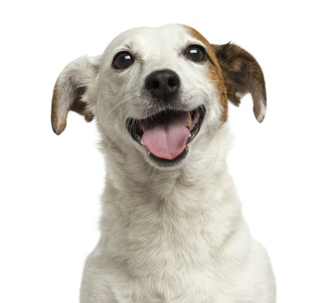jack up: Close-up of a Jack Russell Terrier panting, 6 years old, isolated on white
