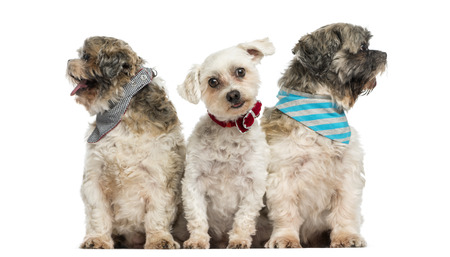 head collar: Group of dogs sitting in a row, isolated on white Stock Photo