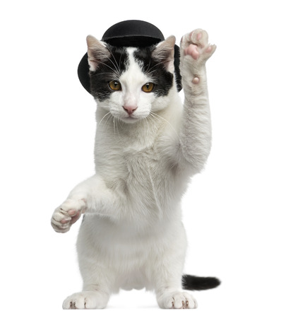 captivate: European Shorthair kitten wearing a top hat, on hind legs and pawing up, 4 months old, isolated on white