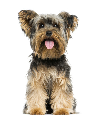 panting: Front view of a Yorkshire Terrier sitting, panting, 9 months old, isolated on white