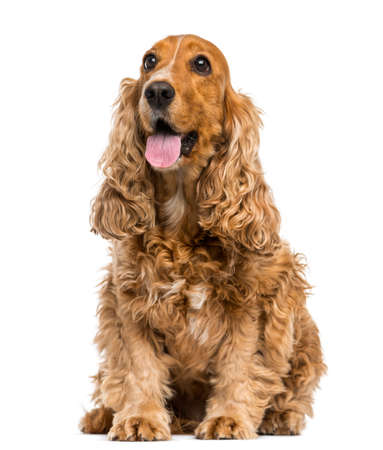 cocker spaniel: English Cocker Spaniel sitting, panting, 6 years old, isolated on white