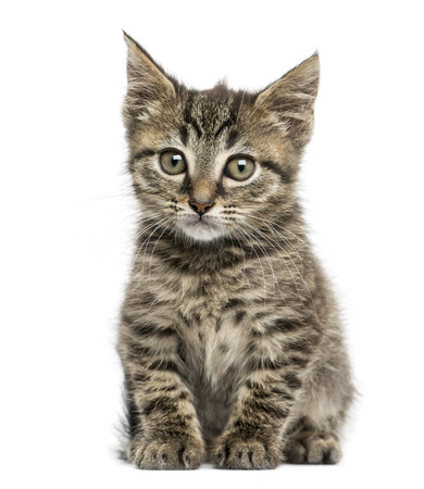 Front view of an European shorthair kitten sitting, 2 months old, isolated on white photo