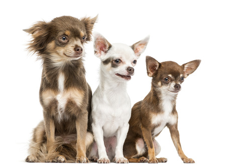 Group of Chihuahuas sitting, 2 years old, isolated on white photo