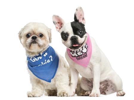 Shih Tzu and French Bulldog puppy wearing bandana sitting together, isolated on white photo