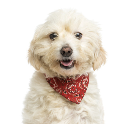 crossbreed: Close-up of a Crossbreed dog wearing a red bandana, panting, isolated on white