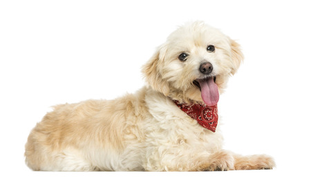 crossbreed: Side view of a Crossbreed dog wearing red bandana, isolated on white