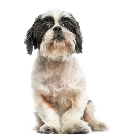 Front view of a Shih tzu sitting, 9 years old, isolated on white photo