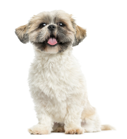 shih tzu: Shih tzu sitting, panting, 2 years old, isolated on white