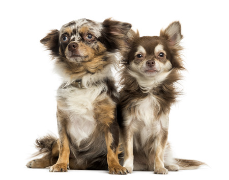 next to each other: Two Chihuahuas sitting next to each other, isolated on white Stock Photo