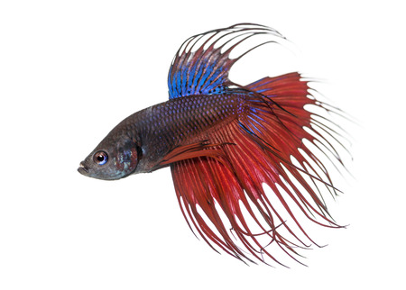Side view of a Siamese fighting fish, Betta splendens, isolated on white Stock Photo - 25138313