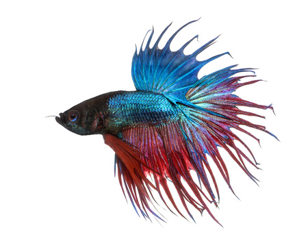 siamese fighting fish: Side view of a Siamese fighting fish, Betta splendens, isolated on white Stock Photo