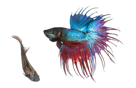 betta splendens: Male and female Siamese fighting fish in a courtship dance, Betta splendens, isolated on white