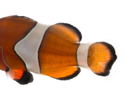 ocellaris: Close-up of an Ocellaris clownfishs body Amphiprion ocellaris, isolated on white