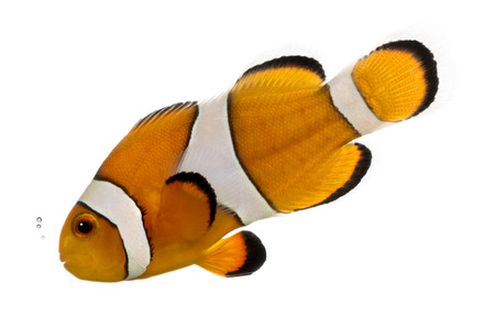 ocellaris: Ocellaris clownfish bubbling, Amphiprion ocellaris, isolated on white