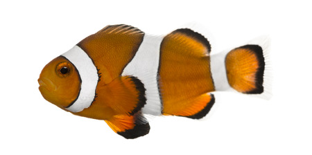 Ocellaris clownfish, Amphiprion ocellaris, isolated on white photo