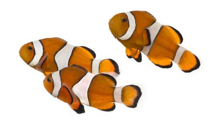pez payaso: Grupo de peces payaso Ocellaris, Amphiprion ocellaris, aislado en blanco