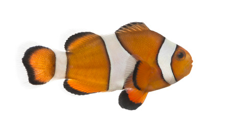 ocellaris: Side view of an Ocellaris clownfish, Amphiprion ocellaris, isolated on white