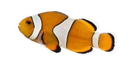 false percula: Side view of an Ocellaris clownfish, Amphiprion ocellaris, isolated on white