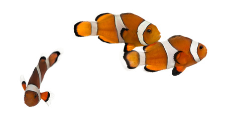 ocellaris: Group of Ocellaris clownfish, Amphiprion ocellaris, isolated on white Stock Photo