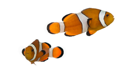 amphiprion ocellaris: Two Ocellaris clownfish, Amphiprion ocellaris, isolated on white