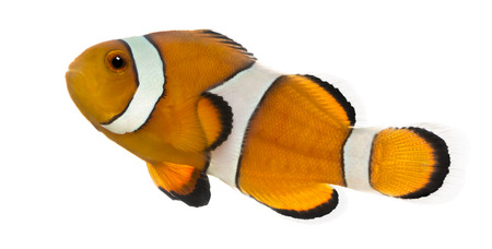 Side view of an Ocellaris clownfish, Amphiprion ocellaris, isolated on white photo
