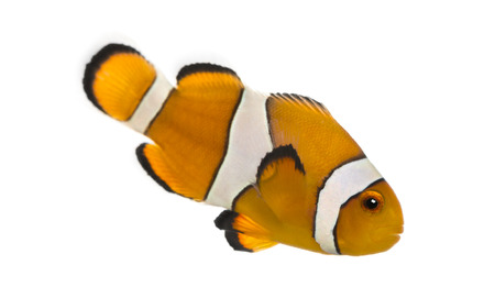 amphiprion ocellaris: Side view of an Ocellaris clownfish, Amphiprion ocellaris, isolated on white