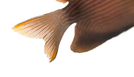 caudal: Close-up of a Kole Tang caudal fin, Ctenochaetus strigosus, isolated on white