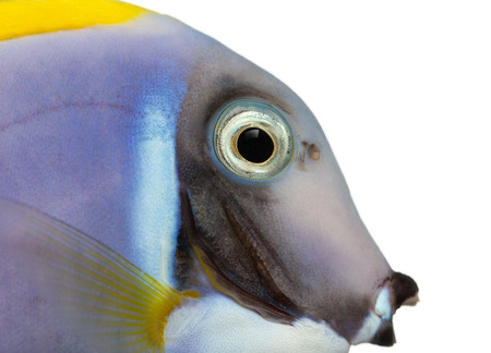 Close-up of a Powder blue tang profile, Acanthurus leucosternon, isolated on white Stock Photo - 25138362