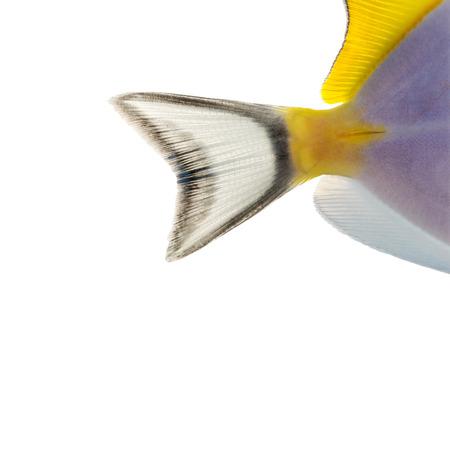 acanthurus leucosternon: Close-up of a Powder blue tangs caudal fin, Acanthurus leucosternon, isolated on white Stock Photo