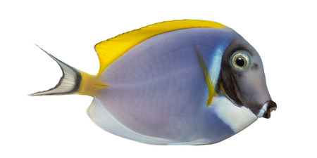 acanthurus leucosternon: Side view of a Powder blue tang, Acanthurus leucosternon, isolated on white