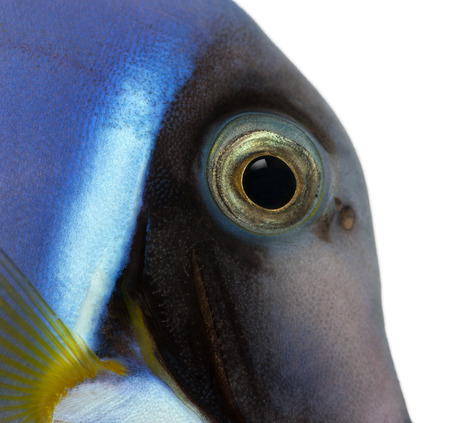 Close-up of a Powder blue tang's head, Acanthurus leucosternon, isolated on white photo