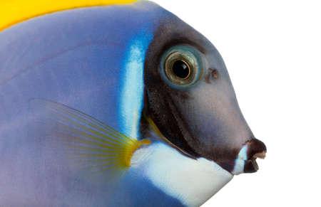 acanthurus leucosternon: Close-up of a Powder blue tang profile, Acanthurus leucosternon, isolated on white Stock Photo