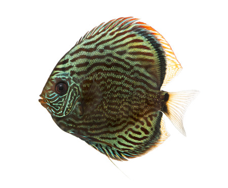 Side view of a Blue snakeskin discus, Symphysodon aequifasciatus, isolated on white photo