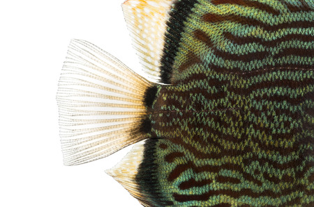 caudal fin: Close-up of a Blue snakeskin discus caudal fin, Symphysodon aequifasciatus, isolated on white Stock Photo