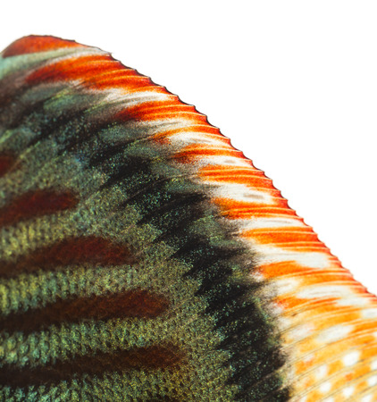 Close-up of a Blue snakeskin discus' dorsal fin, Symphysodon aequifasciatus, isolated on white photo
