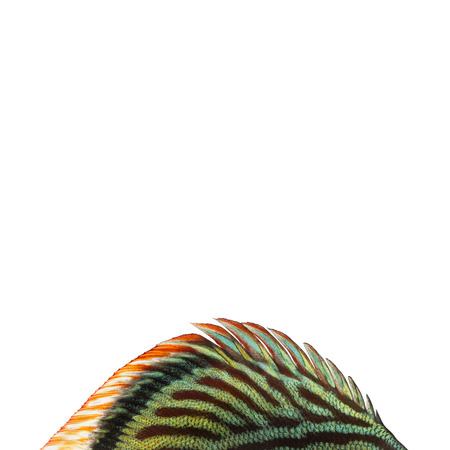 dorsal: Primer plano de un disco de aleta azul de piel de serpiente 'dorsal, Symphysodon aequifasciatus, aislado en blanco Foto de archivo