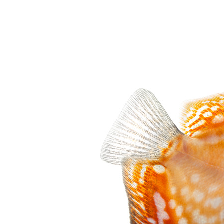 Close-up of a Red pigeon blood discus caudal fin, Symphysodon aequifasciatus, isolated on white photo