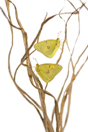 landed: Clouded Sulphur butterflies landed on branches, Colias philodice, isolated on white