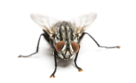 flesh: Flesh fly viewed from up high, Sarcophagidae, isolated on white