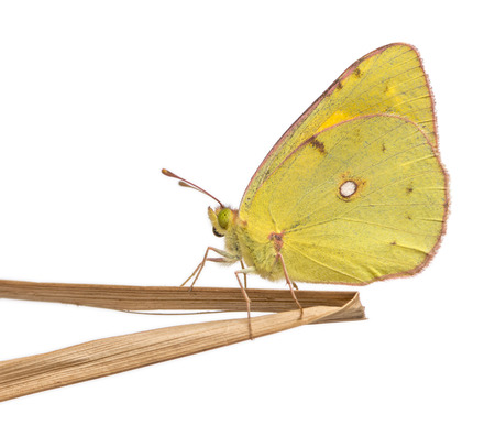 landed: Side view of a Clouded Sulphur landed on a thin branch, Colias philodice, isolated on white