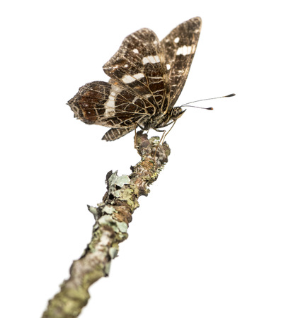 landed: Map butterfly landed on a branch, Araschnia levana, isolated on white