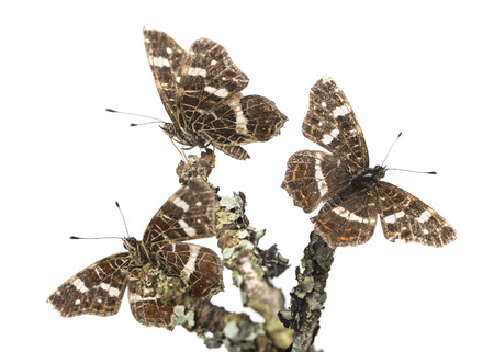 landed: Map butterflies landed on branches, Araschnia levana, isolated on white Stock Photo